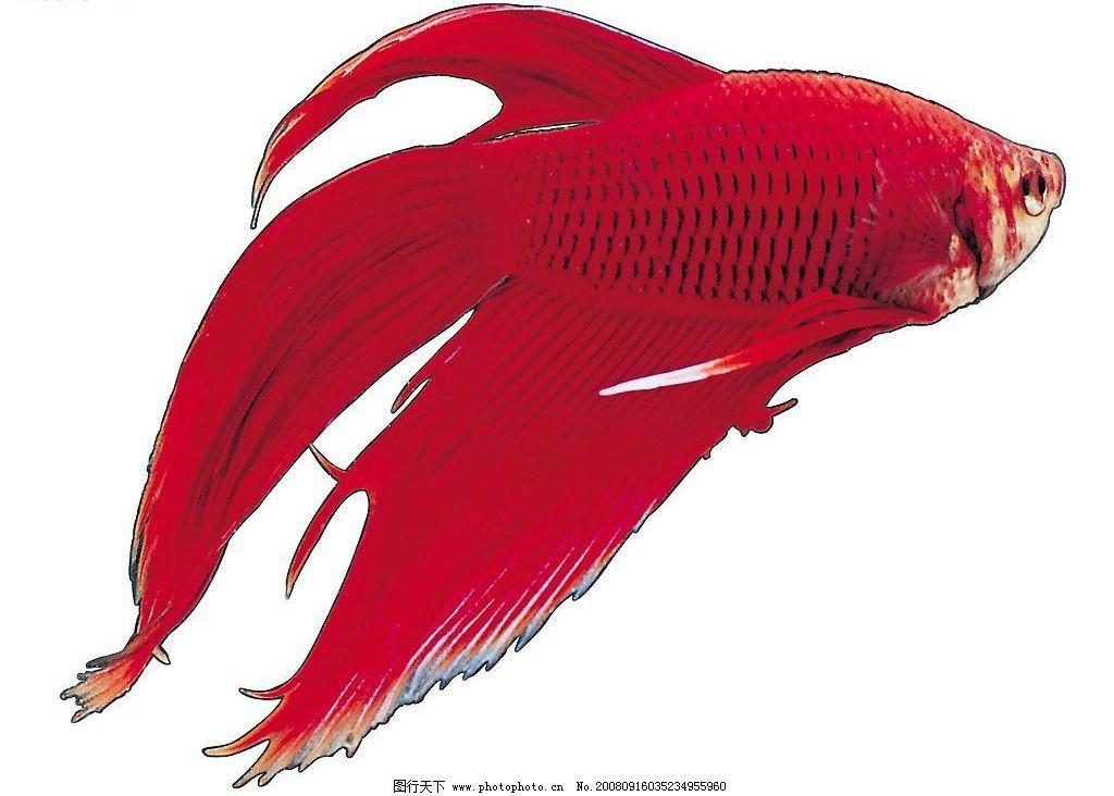 泰国斗鱼 海洋 海底 海鱼 鱼 红鱼 生物世界 鱼类 摄影图库 jpg
