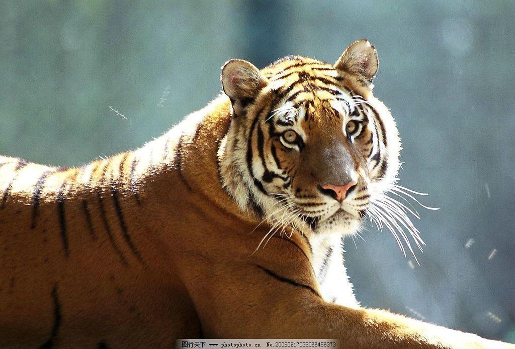 华南虎 野生动物 生物世界 动物世界 摄影图库 自然风景 72dpi jpg