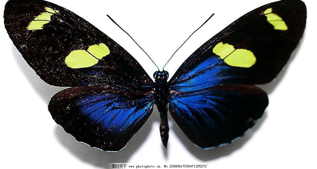蝴蝶 翅膀黑色 蓝色 黄色 生物世界 昆虫 摄影图库 72dpi jpg
