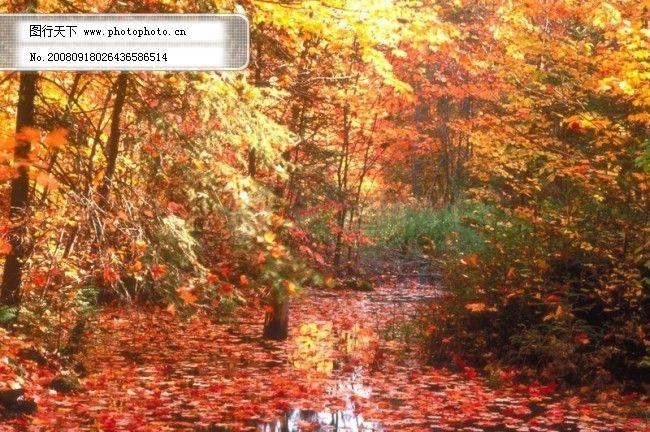 秋天 秋季 枯木 落叶 树叶 树木 枫树 枫叶 红叶 树林 风景 风光 广告