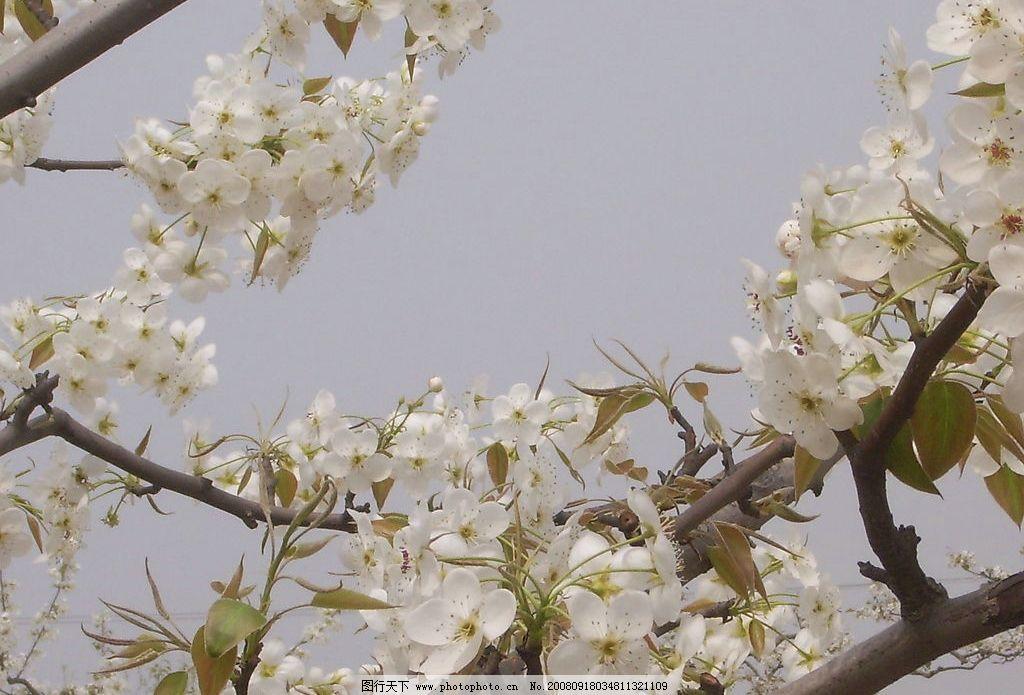 梨花 驿路梨花 自然景观 自然风景 梨园一景 摄影图库 72dpi jpg