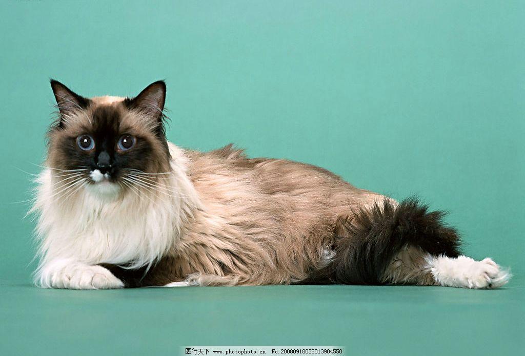 猫咪高清写真 宽屏桌面壁纸 生物世界 野生动物 摄影图库 350dpi jpg