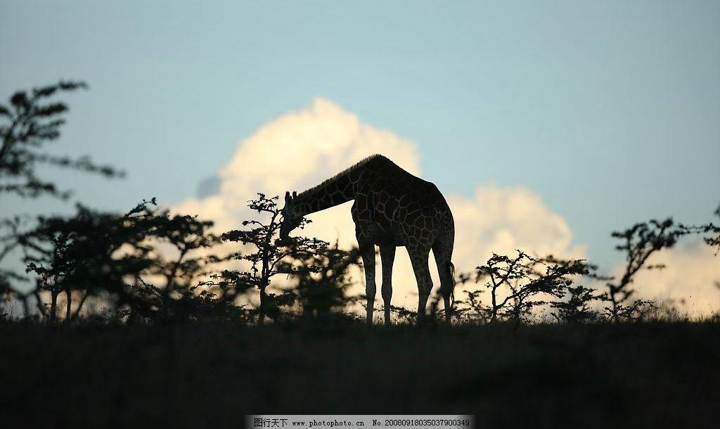 夕阳下吃树叶的长颈鹿图片