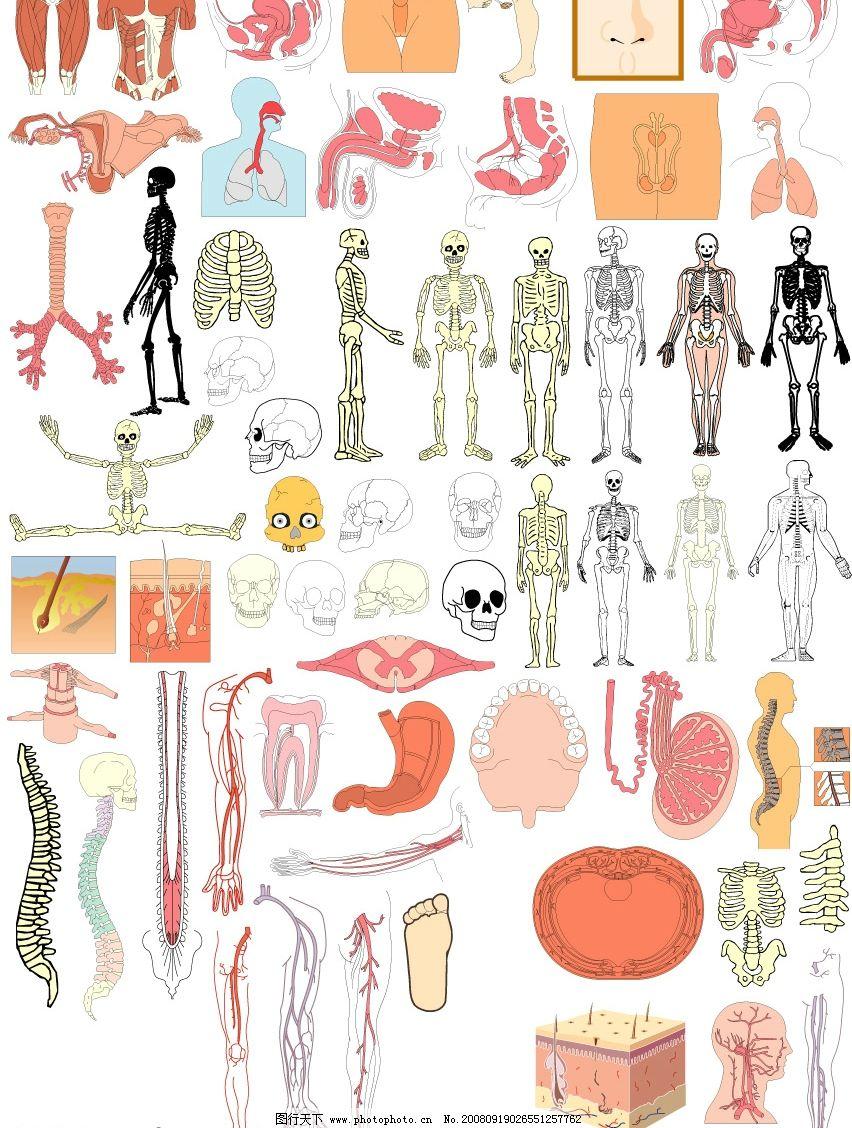 骨头 人体结构图
