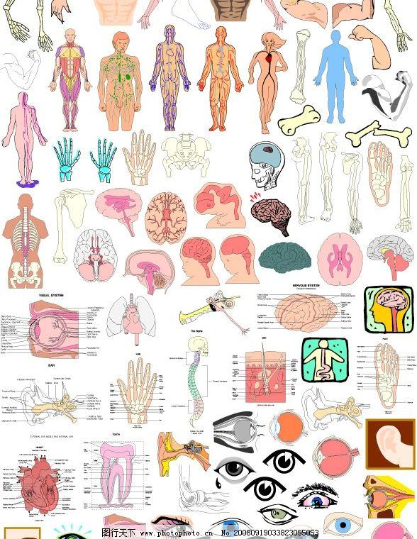 胳膊 眼睛 眼结构 脑 大脑 牙结构 心脏 手结构 矢量人体结构 手臂