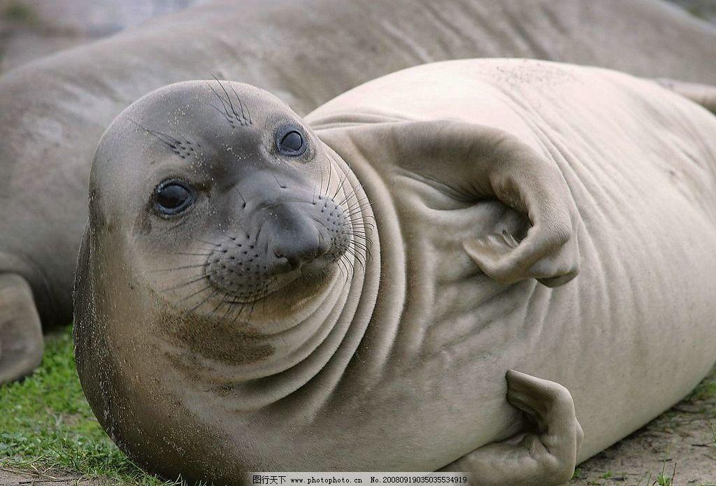 海豹 动物 海底动物 野生动物 豹子 可爱 生物世界 摄影图库