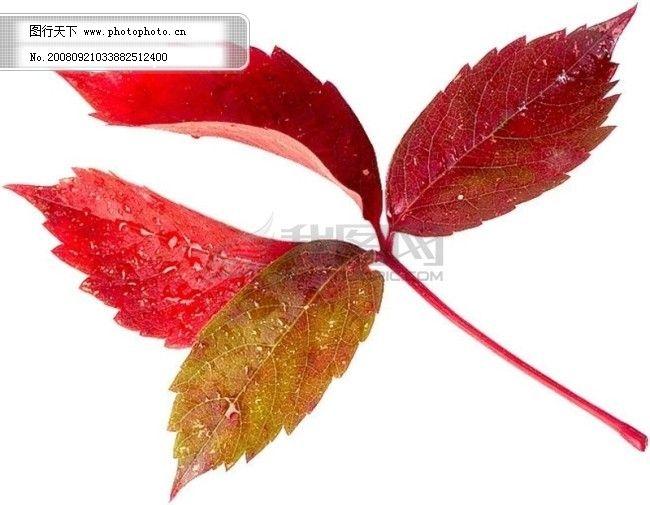 茂盛 绿叶 叶子 树叶 落叶 叶脉 脉络 形状 特点 标本