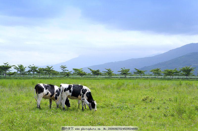 乳牛牧场0001 动物
